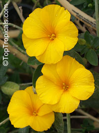 Reinwardtia indica, Golden girl, Yellow flax  Click to see full-size image