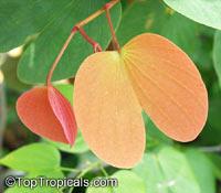 Bauhinia pottsii, Orchid Tree  Click to see full-size image