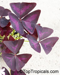Oxalis triangularis, Oxalis regnellii, Purple Shamrock, Love Plant   Click to see full-size image