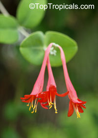 Lonicera x brownii , Coral Honeysuckle, Trumpet Honeysuckle