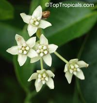 Funastrum clausum, Sarcostemma clausum , White Milkweed-vine  Click to see full-size image
