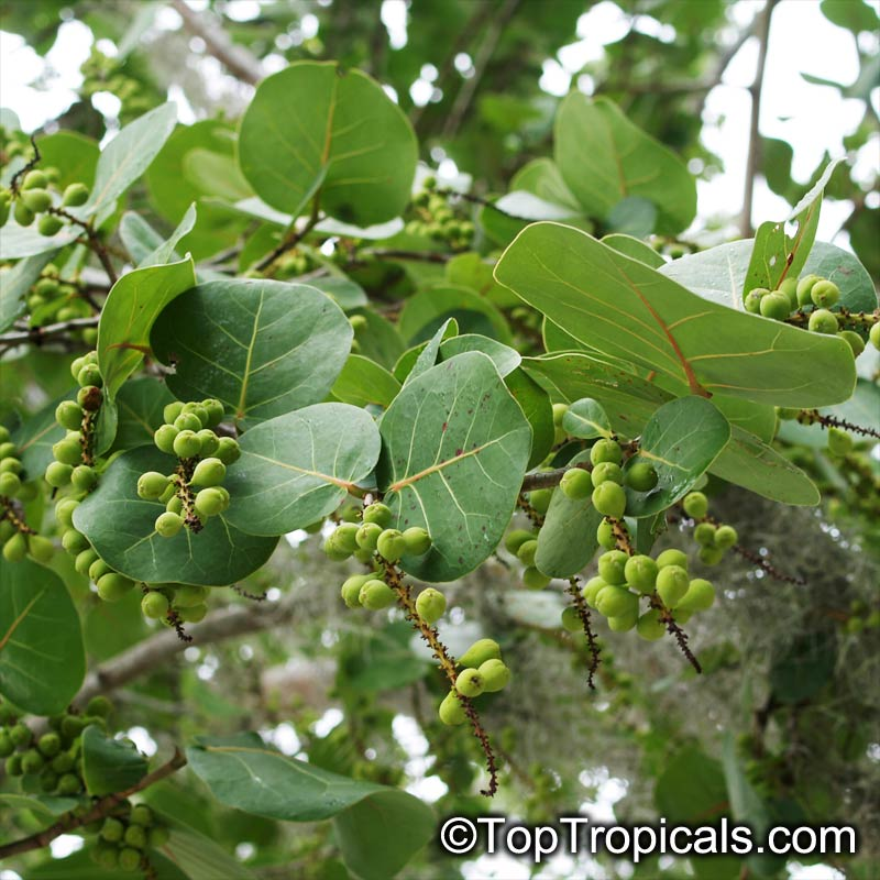 Coccoloba Uvifera Sea Grape Toptropicals Com