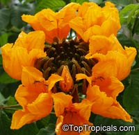 Spathodea campanulata - Golden African Tulip Tree  Click to see full-size image