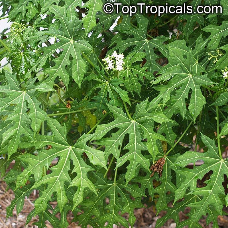 cnidoscolus aconitifolius  spinach tree  tread softly