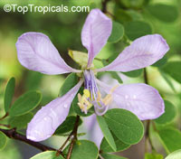 Bauhinia grandidieri, Dwarf Orchid tree