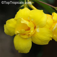 Allamanda williamsii - Double Yellow Flower