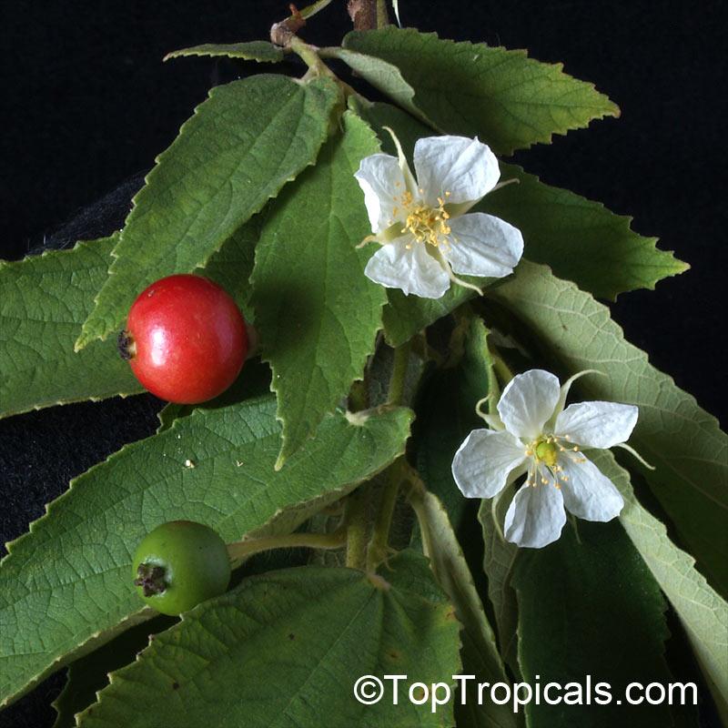Muntingia Calabura Strawberry Tree Jam Tree Jamaican