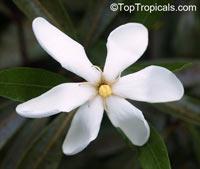 Kailarsenia lineata, Kailarsenia  Click to see full-size image