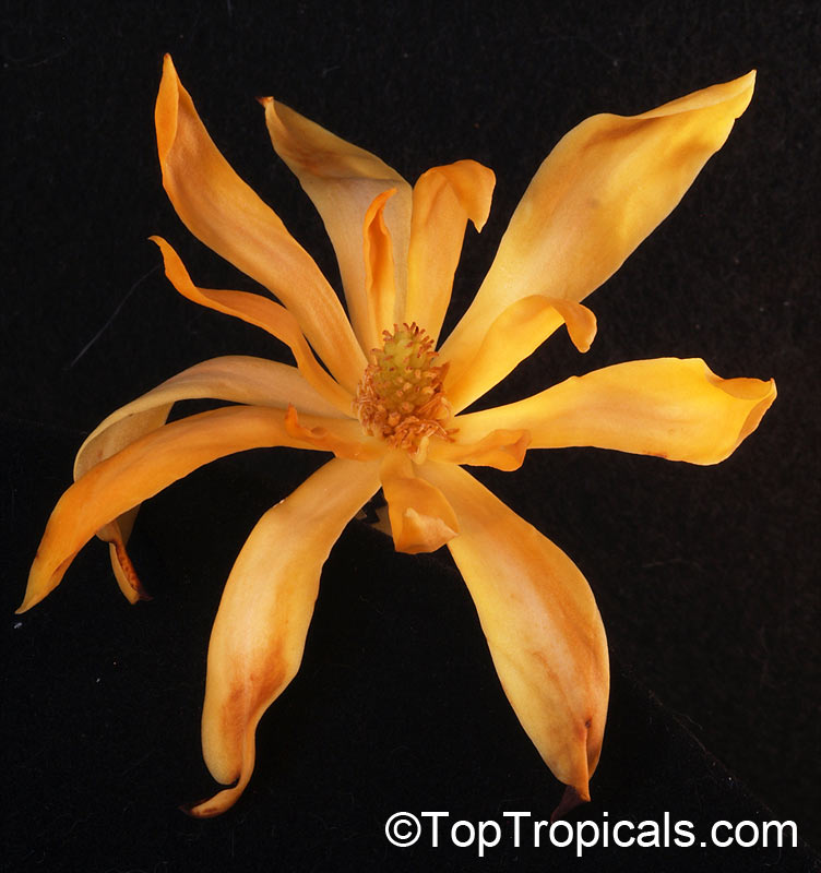 Magnolia Champaca Michelia Champaca Joy Perfume Tree Huang Yu Lan