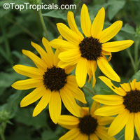 Helianthus debilis , Beach Sunflower, Dune Sunflower