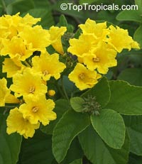 Cordia lutea, Yellow Geiger, Muyuyo