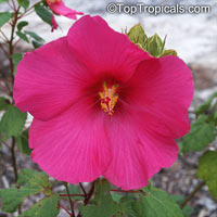Hibiscus moscheutos, Swamp-rose Mallow, Hardy Hibiscus