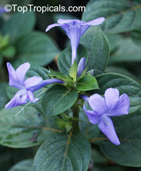 Barleria cristata, Philippine Violet, Crested Philippine Violet, December Flower  Click to see full-size image