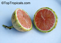Citrus limon Pink, Pink Lemonade Lemon  Click to see full-size image