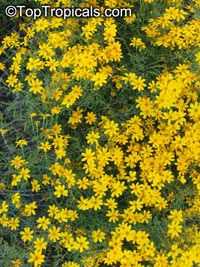 Tagetes lemmonii, Tagetes, Lemon Marigold, Copper Canyon Daisy  Click to see full-size image