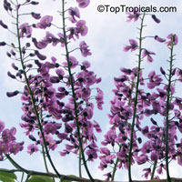 Lonchocarpus violaceus, Lilac Tree, Dotted Lancepod, Chaperno
