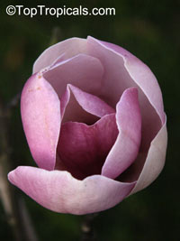 Magnolia x soulangeana, Saucer Magnolia  Click to see full-size image