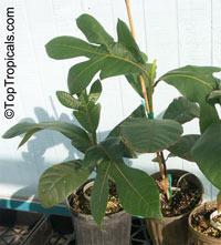 Artocarpus odoratissimus, Marang, Tarap, Green TerapClick to see full-size image
