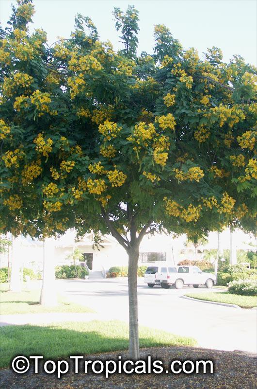 Cassia leptophylla, Gold Medallion Tree, Golden Medallion ...