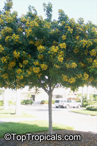 Cassia leptophylla, Gold Medallion Tree, Golden Medallion Tree