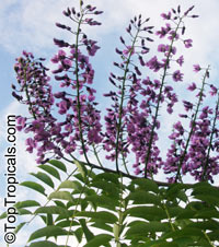 Lonchocarpus violaceus, Lilac Tree, Dotted Lancepod, Chaperno  Click to see full-size image