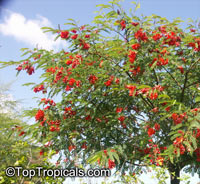 Sesbania punicea, Sesbania tripetii, Daubentonia tripetii, Rattle Box Tree, Chinese Rattlebox, Rattlebush, Spanish Gold, Scarlet Wisteria, Red Sesbania