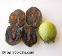 Diospyros digyna - Black Sapote grafted var. Willson  Click to see full-size image
