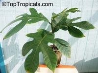 Artocarpus camansi, Seeded breadfruit, Breadnut  Click to see full-size image