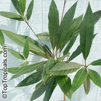 Elaeocarpus ganitrus, Elaeocarpus sphaericus, Rudraksh, Rudraksa, Rudraksha, Blue Olive Berry  Click to see full-size image