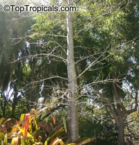 Adansonia madagascariensis, Madagascar BaobabClick to see full-size image