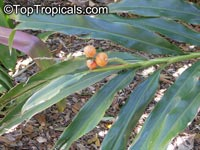 Alpinia sp., Ginger Lily