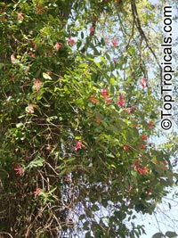Lonicera sempervirens , Coral Honeysuckle, Trumpet Honeysuckle  Click to see full-size image
