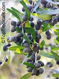 Unknown 126, False Olive  Click to see full-size image