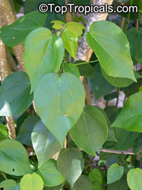 Pavonia bahamensis, Bahama Marsh-Bush , Bahama Swamp-Bush  Click to see full-size image