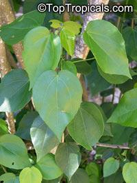Pavonia bahamensis, Bahama Marsh-Bush , Bahama Swamp-Bush, Bahama Hummingbird Bush  Click to see full-size image