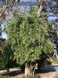 Buddleja madagascariensis, Buddleja nicodemia, Nicodemia madagascariensis, Smoke bush, Yellow Butterfly bush  Click to see full-size image