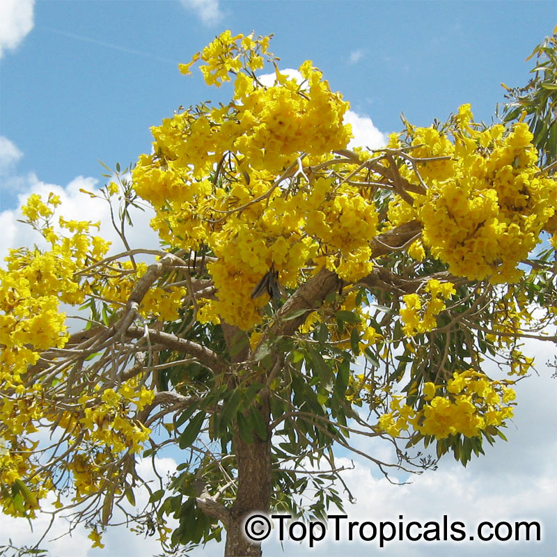 Tabebuia Caraiba Tabebuia Argentea Silver Trumpet Tree
