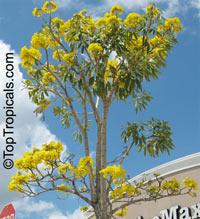 Tabebuia caraiba, Tabebuia argentea, Silver Trumpet Tree  Click to see full-size image