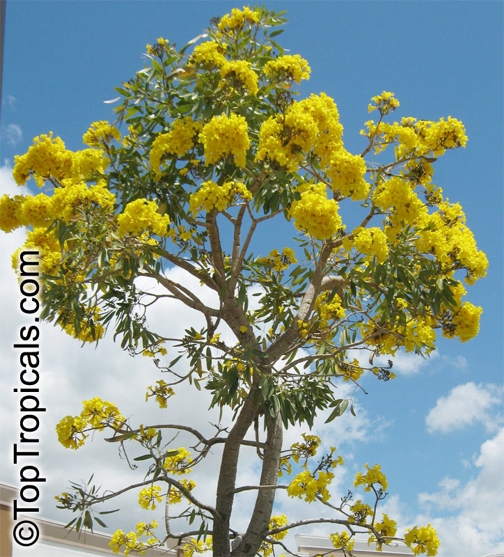 Tabebuia Caraiba Argentea Silver Trumpet Tree Click To See Full Size Image