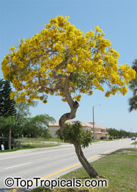 Tabebuia caraiba - Yellow trumpet tree, 3 gal pot  Click to see full-size image