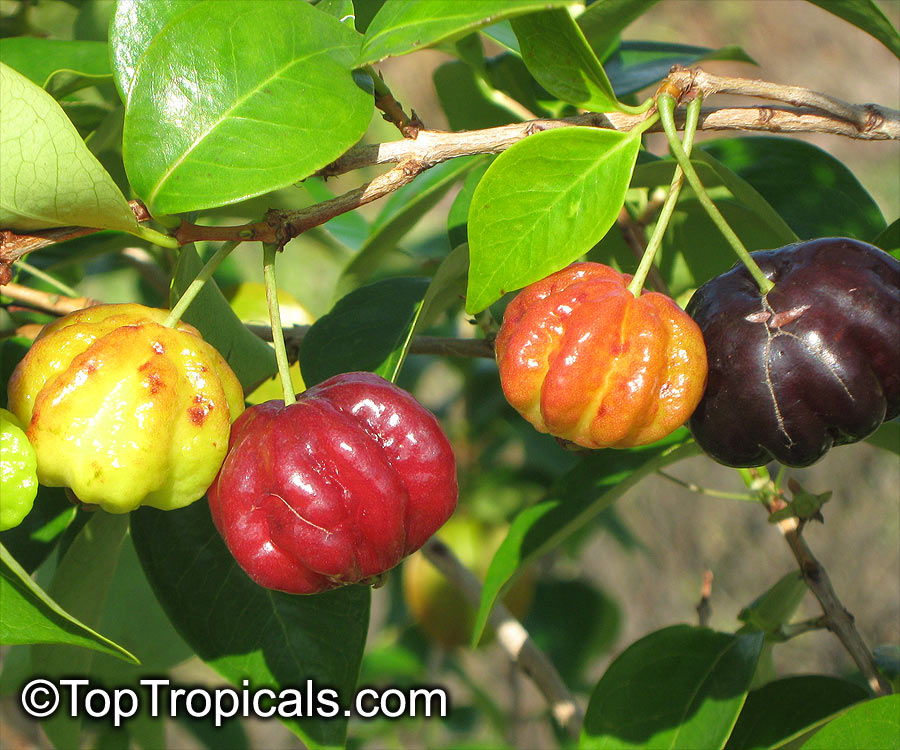 "Surinam Cherry 1 Gallon 12/"" to 14/"" BrazilianCherry Tropical Fruit Tree"