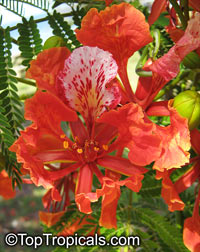 Delonix regia - Royal Poinciana - seeds  Click to see full-size image