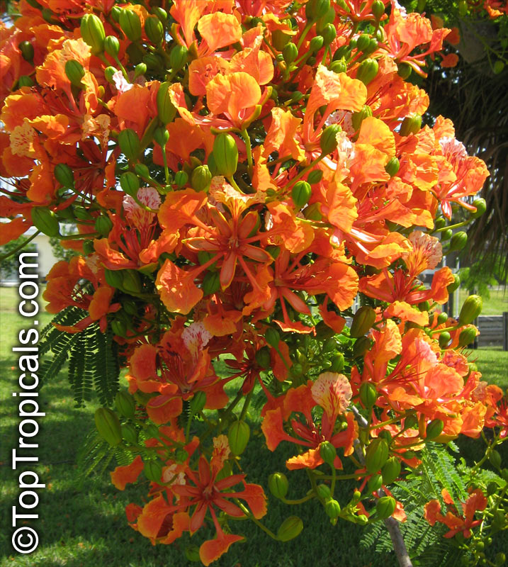 delonix regia var  golden  flame tree  flamboyant  royal