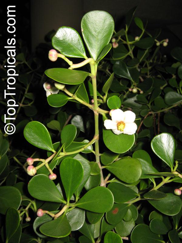 Clusia Guttifera Small Leaf Clusia Dwarf Autograph Tree