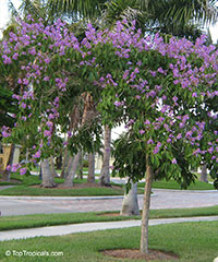 Lagerstroemia speciosa, Lagerstroemia flos reginae, Queens Crape Myrtle, Queens flower, Pride of India, Banaba.