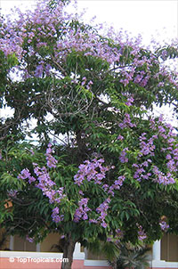 Lagerstroemia speciosa, Lagerstroemia flos reginae, Queens Crape Myrtle, Queens flower, Pride of India, Banaba.  Click to see full-size image