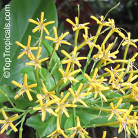Ixora (Tarenna) wallichii - Scented Needle Flower  Click to see full-size image