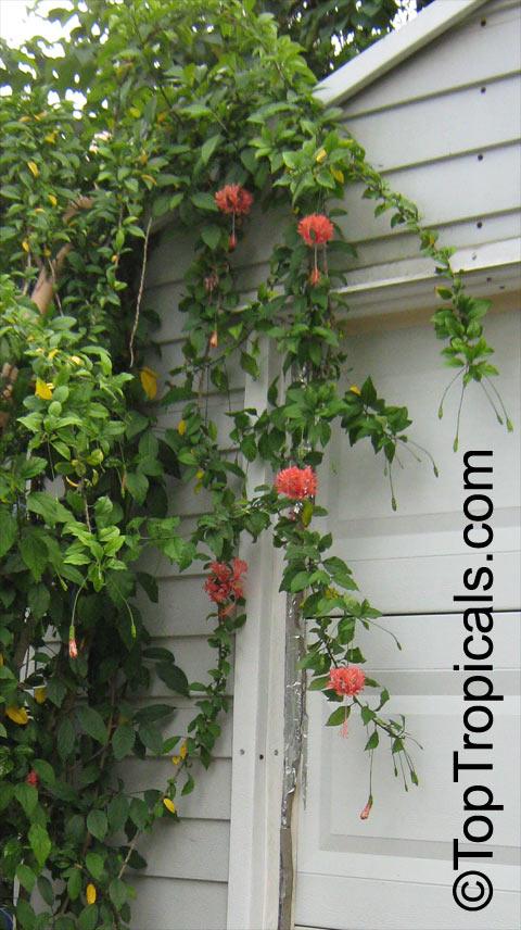 hibiscus schizopetalus  coral hibiscus  skeleton hibiscus