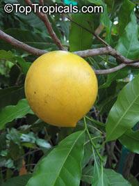 Pouteria caimito - Abiu, Harvest Moon SapoteClick to see full-size image