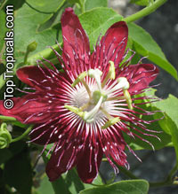 Passiflora 'Lady Margaret', Passiflora 'Lady Margaret'